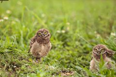 Family with Baby Burrowing owls Athene cunicularia perched outsi. De a burrow on Marco Island, Florida Royalty Free Stock Photos