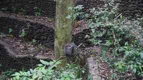 Family with baby monkey on lianas in tropical forests of Indonesia. Wild mammals on the exotic island Bali give bright impressions tourists stock video