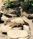 Family of banded mongoose Stock Photo