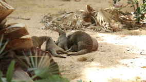 Family of Banded mongoose Royalty Free Stock Images