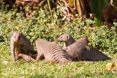 Family of banded mongooses Royalty Free Stock Image