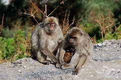 Family of Barbary Apes, Gibraltar. Stock Images