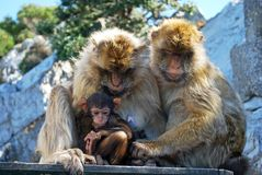 Family of Barbary Apes, Gibraltar. Two Barbary Apes holding their baby, Gibraltar, United Kingdom, Western Europe stock photography