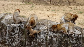 Family Barbary Macaques and defiant child stock video