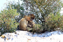 Family Barbary Macaques at the Rock of Gibraltar Stock Image
