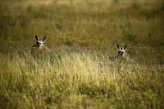 Family of Bat-eared Foxes Stock Photography