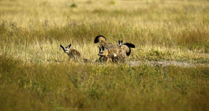 Family of Bat-eared Foxes Royalty Free Stock Photos