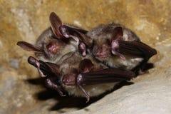 A family of bats Stock Photo