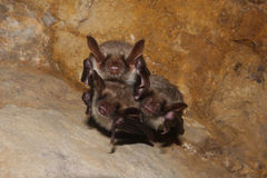 A family of bats Stock Photography