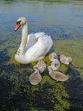 Family of beautiful white swans on the water in a pond on nature stock images