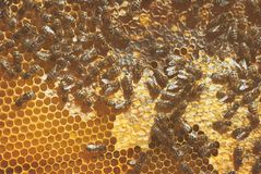 A family of bees gather and carry honey in waxen honeycombs. Hive of the beekeeper. A family of bees carry honey in waxen honeycombs. Hive of the beekeeper royalty free stock image