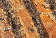 A family of bees gather and carry honey in waxen honeycombs. The bee swarm looks out of the framework of the hive Stock Photography