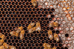 Family of bees on honeycombs Royalty Free Stock Photos