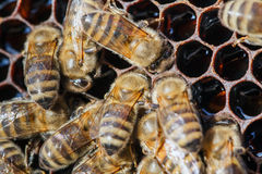 Family of bees on honeycombs Stock Image