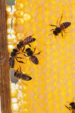 Family of bees on honeycombs Stock Photography