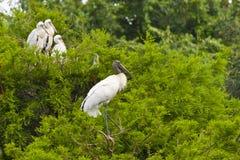 Family of birds - Wood stork. Royalty Free Stock Photo