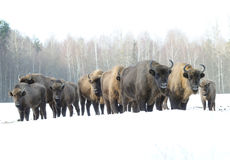 Family of bisons in the winter Stock Images