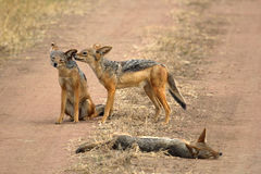 Family of black-backed jackals Royalty Free Stock Photos
