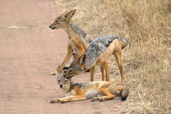 Family of black-backed jackals Royalty Free Stock Images