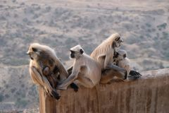 A family of black faces monkeys, India stock image