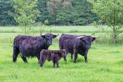 Family Black Scottish Highlanders In Spring Meadow Stock Photos
