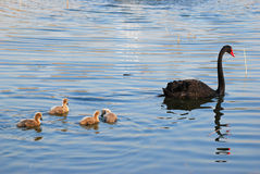 Family of black swan Royalty Free Stock Image