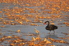 Family of black swan Stock Photo