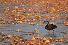 Family of black swan stock photo