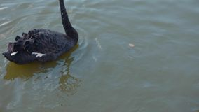 A family of black swan. Black swan family parents and two cygnets on a walk in the lake stock footage