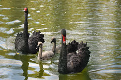 Family of black swans Stock Photography