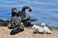 Family of black swans with signets by the river stock photo