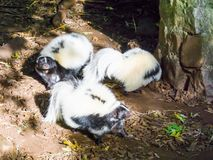 Family of black and white common striped skunks standing together wild animals from canada. A family of black and white common striped skunks standing together stock photos