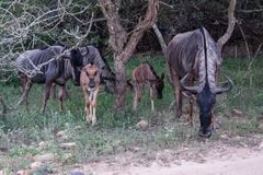 Family of Blue wildebeest antelope grazing Stock Photo