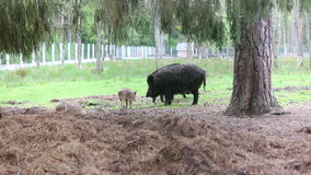 Family of boars stock footage