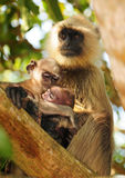 Family bond in primates Royalty Free Stock Photos