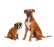 Family boxer dogs. Isolated on a white backgrond Royalty Free Stock Photo