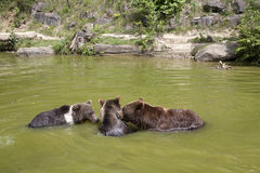 Family of brown bears in the water Royalty Free Stock Photos