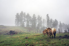 Family of brown cows on field Royalty Free Stock Photography