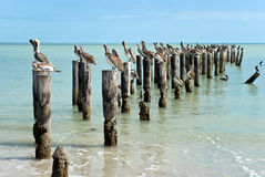 Family of brown pelicans standing on a pier post Stock Photos