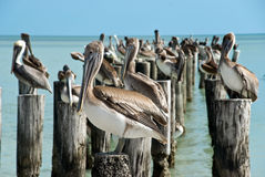 Family of brown pelicans standing on a pier post Royalty Free Stock Photography