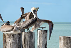 Family of brown pelicans standing on a pier post Stock Images