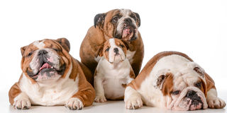 Family of bulldogs Stock Images