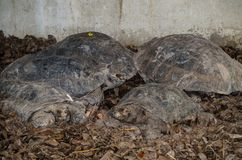 Family of burmese black tortoise gathering on the ground. Family of burmese black tortoise Manouria emys, also known as the Asian brown tortoise gathering on royalty free stock images