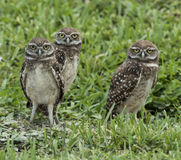 Family of Burrowing Owls. Family of three endangered brown and white burrowing owls with yellow eyes standing in green grass Stock Images