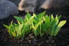 Family Bush young green shoots of garden decorative plants on ploughed spring flowerbed. Royalty Free Stock Image