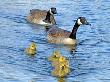 A family of canada gees with yellow fluffy goslings swimming in a blue lake stock photography