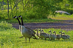 Family of Canada Geese in green grass. Royalty Free Stock Photography