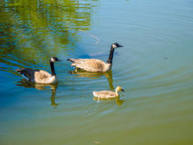 Family  of Canada geese in the lake Stock Photography