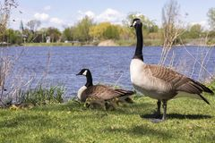 Family of Canada geese with male standing guard over female and her chicks. With St. Lawrence River and Lachine sector shore in the background, Montreal royalty free stock photography