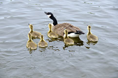 Family of Canada Geese in the River #1 Royalty Free Stock Photos